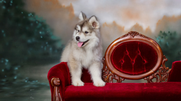 Husky puppy dog at studio portrait